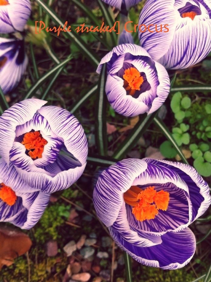 purplestreakcrocus_tee2envisage-01